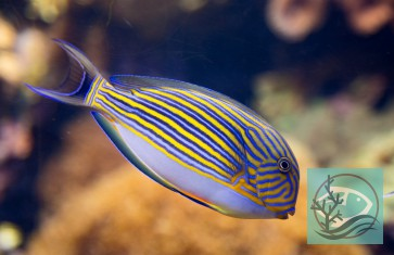 Acanthurus lineatus - Blaustreifendoktorfisch