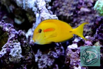 Acanthurus olivaceus - Orangefleck Doktorfisch