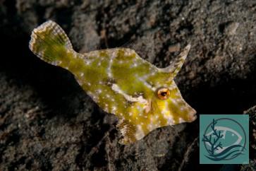 Acreichthys tomentosus - Seegras- oder Tangfeilenfisch