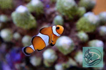 Amphiprion percula - Trauerband Anemonenfisch