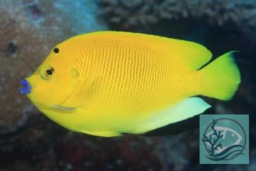 Apolemichtys trimaculatus - Dreipunkt Kaiserfisch