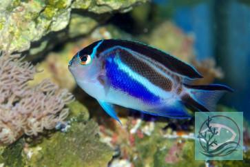 Genicanthus bellus - Pracht-Lyrakaiserfisch