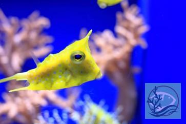 Lactoria cornuta - gehörnter Kuhkofferfisch