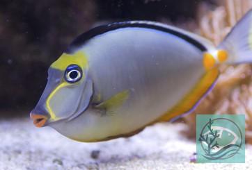 Naso lituratus - Kuhkopf Doktorfisch