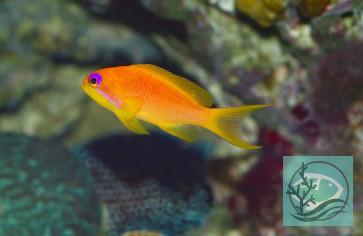 Pseudanthias squamipinnis - Juwelenfahnenbarsch