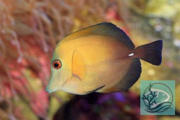Zebrasoma scopas - Brauner Segelflossen-Doktorfisch