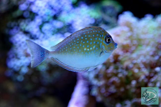 Naso Vlamingii Masken Nasendoktor Corals And Reef