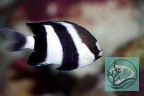 Dascyllus aruanus - Weißschwanz-Preussenfisch