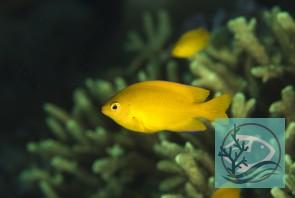 Pomacentrus moluccensis - Zitronen-Demoiselle