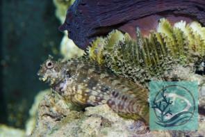 Salarias fasciatus - Juwelen-Felshüpfer