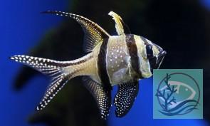 Pterapogon kauderni - Kardinalbarsch
